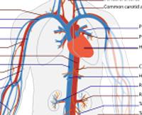 veins-arteries
