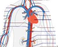 veins-arteris