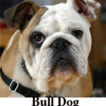 Difference Between Bulldog and Pit bull