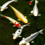 Difference Between Koi and Goldfish