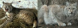 bobcat_lynx