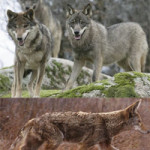 Difference Between Coyote and Wolf