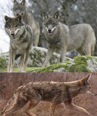 Difference Between Coyote and Wolf | Difference Between