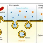 Difference between Exocytosis and Endocytosis