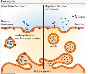 Difference between Exocytosis and Endocytosis | Difference Between