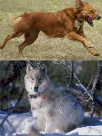 Wolf behavior essay outline