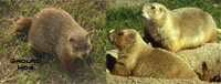 groundhog_prairedog