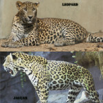 Difference Between Jaguar and Leopard