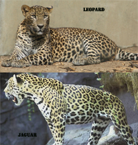 difference between jaguar and leopard difference between. Black Bedroom Furniture Sets. Home Design Ideas
