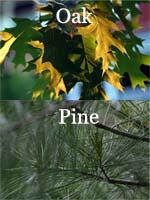 oak-vs-pine_s