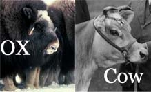 ox-vs-cow_s