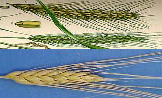 wheat-rye