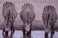 Difference Between Zebra And Horse | Difference Between