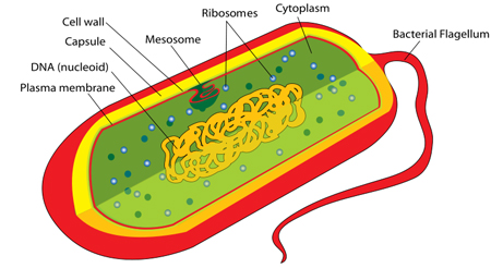 difference between cytosol and cytoplasm difference between  diagram of cytosol #10