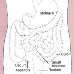 Difference Between Small Intestine and Large Intestine