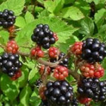 Difference Between Blackberry and Black Raspberry