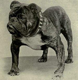 bull_dog