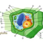 Difference Between Nucleoplasm and Cytoplasm