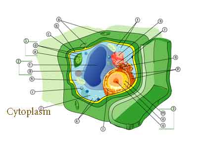 Difference between nucleoplasm and cytoplasm difference between difference between nucleoplasm and cytoplasm ccuart Choice Image