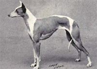 dog-whippet-pd