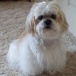 Differences Between Lhasa Apso and Shih Tzu