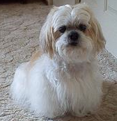 lhasa-apso-dog-pd
