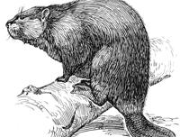 beaver-pd
