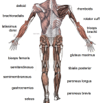 Difference Between Cardio Muscles and Skeletal Muscles