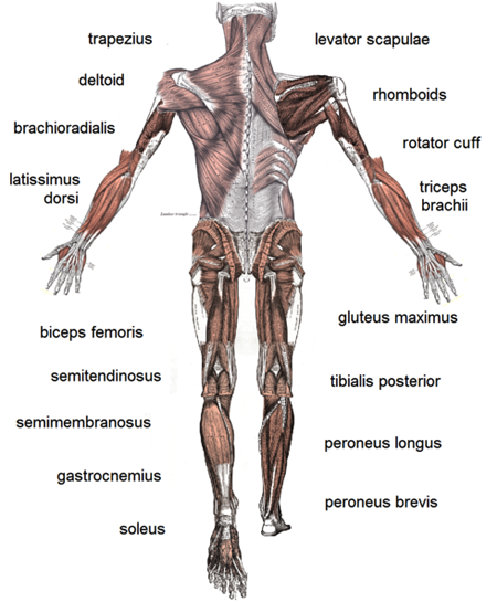 Difference Between Cardio Muscles And Skeletal Muscles Difference