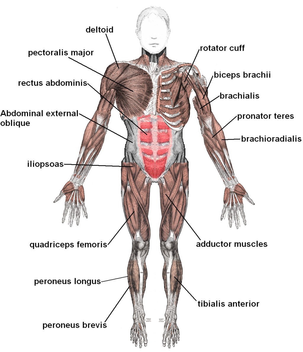 1024px Muscles anterior labeled - Difference Between Pulled Muscle and Torn Muscle