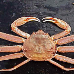 Difference Between Bairdi crab and Opilio crab