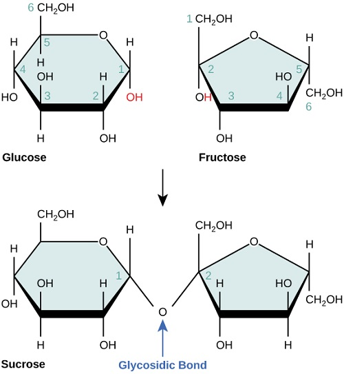 Differences Between Glucose and Sucrose