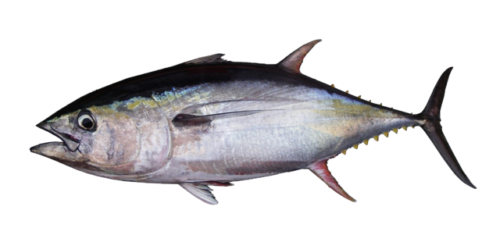 Difference Between Ahi Tuna and Yellowfin Tuna-1