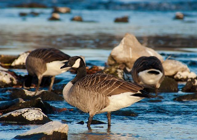 canada-goose-210173_640