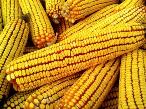 Difference Between White and Yellow Corn-1