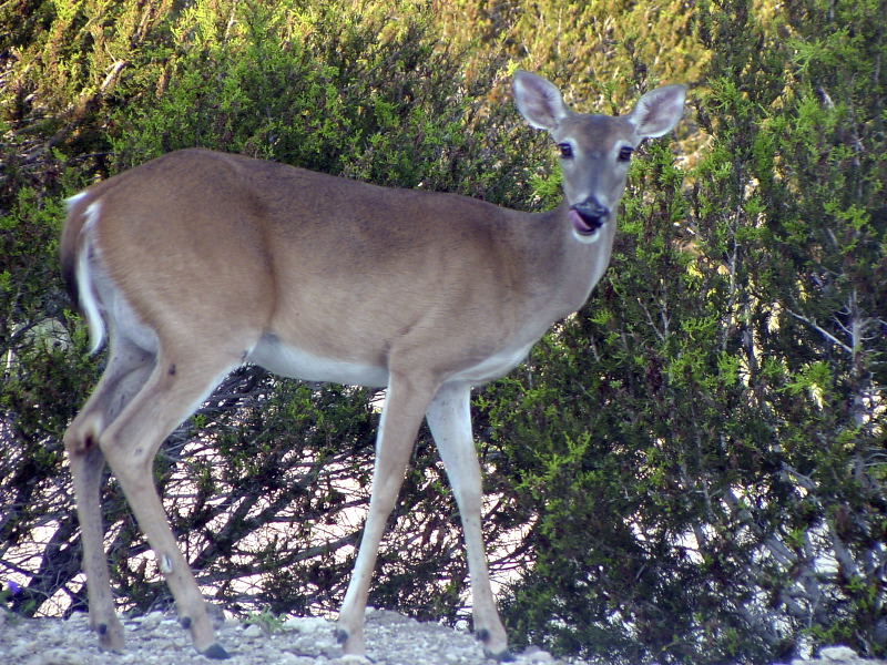 Whitetail_doe
