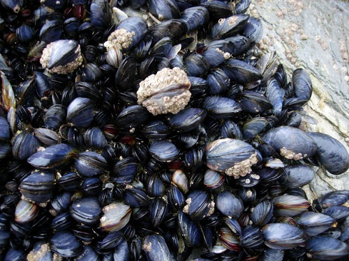 Difference Between Mussels and Clams