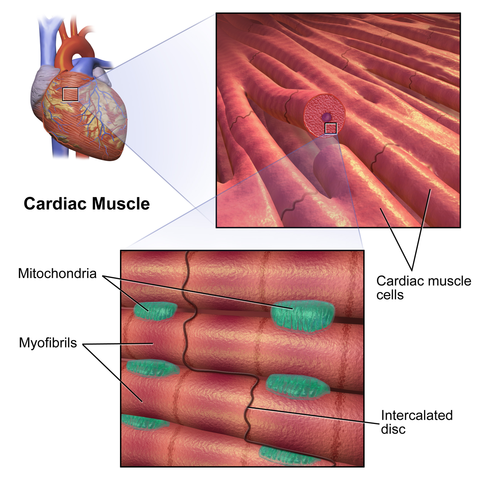 Difference Between Smooth Muscles And Cardiac Muscles Difference