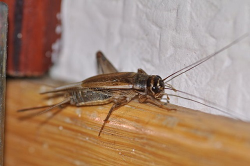 Difference Between Black and Brown Crickets-1