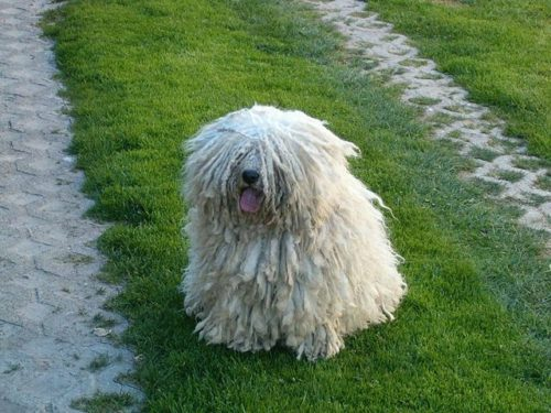 Difference Between Komondor and Puli dog-1