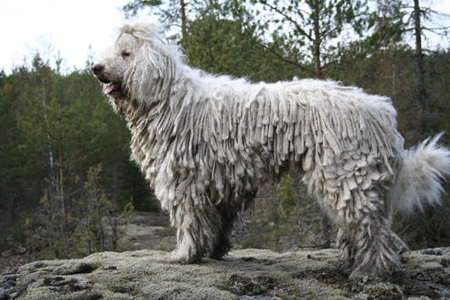 Difference Between Komondor and Puli dog
