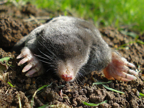 Difference Between Mole and Vole
