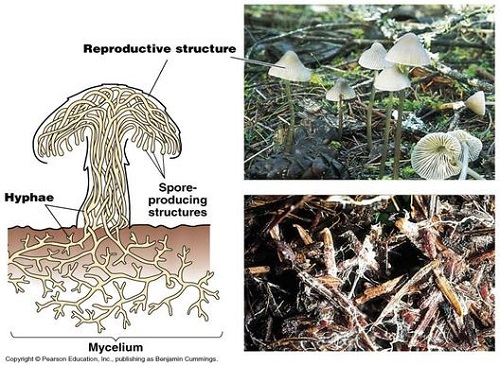 Difference Between Mycelia and Hyphae