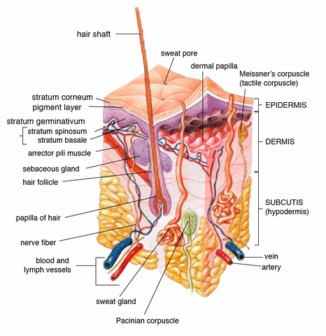 differences between sebaceous and sweat glands | difference between, Human Body