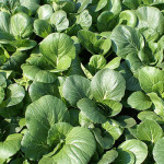Differences between bok choy and napa cabbage