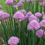 Difference between chives and scallions
