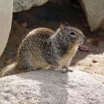 Difference Between Gophers and Ground squirrels