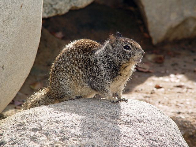 Gophers And Ground Squirrels Are Small Four Legged Creatures That Resemble Rats Or Rodents Seem Quite Similar To Each Other On Close Inspection It Is