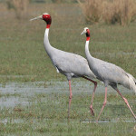 Difference between Crane and Heron