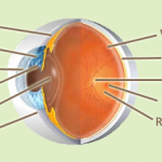Difference between Conjunctiva and Sclera